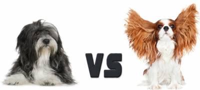 קבליר קינג צ'ארלס VS טרייר טיבטי